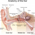 anatomy-of-the-inner-ear-chart
