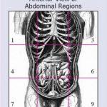 Abdominal Region