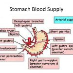 Stomach artery